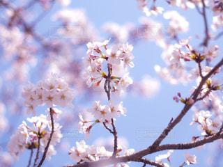 桜伸びるの写真・画像素材[1115095]