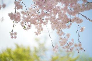 平安神宮の桜の写真・画像素材[1115097]