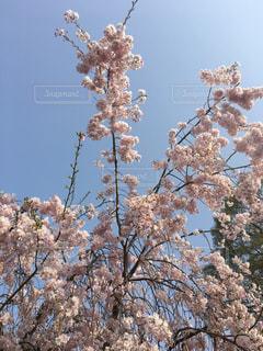 しだれ桜の写真・画像素材[1120411]