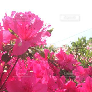 四国 愛媛県大洲市の冨士山(とみすやま)のツツジの写真・画像素材[1117511]