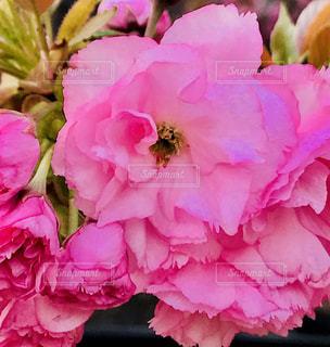 牡丹桜アップの写真・画像素材[1116362]