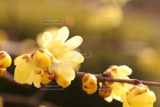 蝋梅の写真・画像素材[1116930]