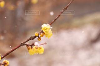 蝋梅と雪の写真・画像素材[1116931]