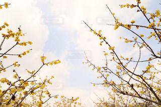 蝋梅と空の写真・画像素材[1116932]