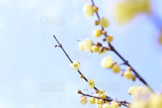 蝋梅と空の写真・画像素材[1116933]