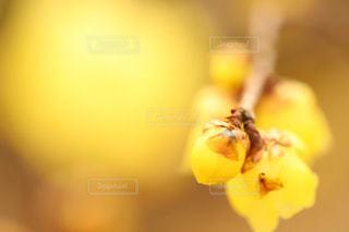 蝋梅の写真・画像素材[1116934]
