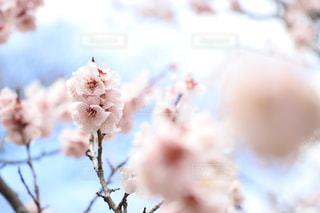 桜咲く。の写真・画像素材[1116936]