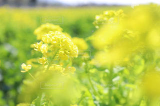 菜の花畑の写真・画像素材[1116937]