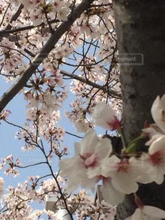 桜の木の写真・画像素材[1117279]