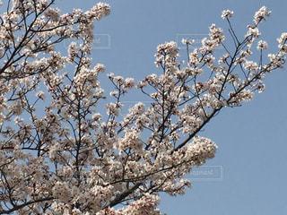 晴天の桜の写真・画像素材[1117288]