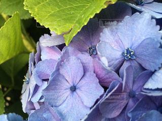 近くの花(紫陽花)のアップの写真・画像素材[1124024]