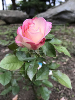 植物にピンクの花の写真・画像素材[1236218]