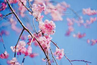 ピンクの花と青い空と木の写真・画像素材[1207687]