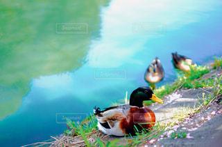 水の体の上に座っている鳥の写真・画像素材[1230155]