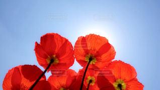 赤と黄色の花の写真・画像素材[1320184]