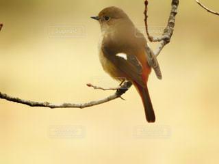 木の枝にとまる小鳥の写真・画像素材[1615269]