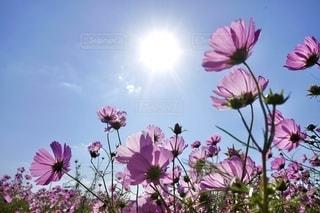 ピンクの花で満たされた花瓶の写真・画像素材[2699178]