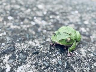 緑のカエルの写真・画像素材[3397303]
