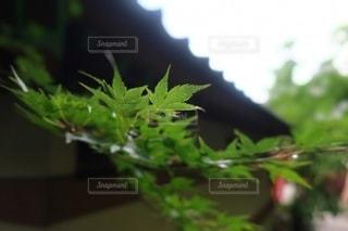 楓の写真・画像素材[3422227]