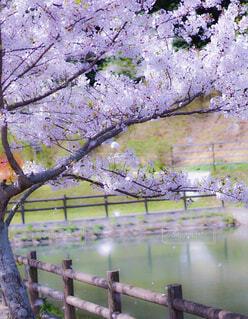 桜路の写真・画像素材[4441861]
