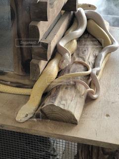 白蛇の写真・画像素材[1118476]