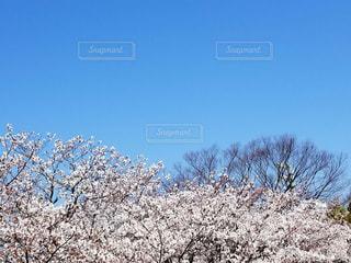 雪の中の桜🌸の写真・画像素材[1118818]