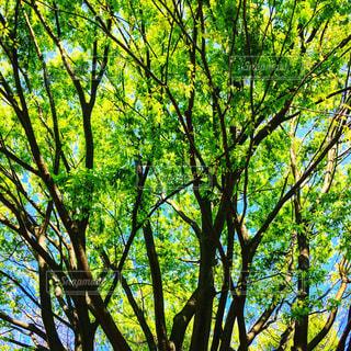 春の新緑の写真・画像素材[1122486]