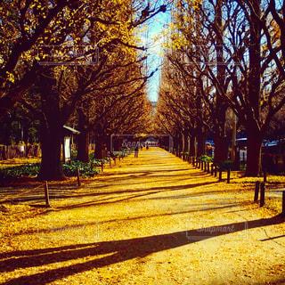外苑銀杏並木の写真・画像素材[1124039]