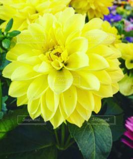黄色いダリアの写真・画像素材[1153557]