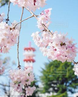 枝垂れ桜とタワーの写真・画像素材[1119870]