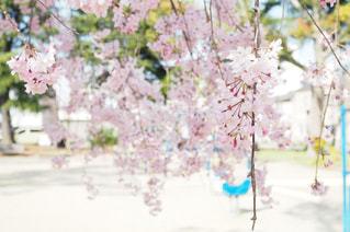 公園の枝垂れ桜の写真・画像素材[1119871]