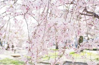 淡いピンク色が可憐な枝垂れ桜の写真・画像素材[1119872]