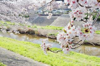 川沿いの桜の写真・画像素材[1119873]