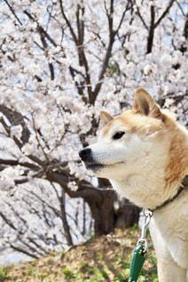 凛々しい表情の柴犬と桜の写真・画像素材[1119898]