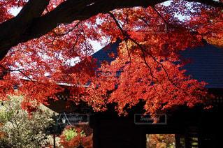 紅葉とお寺の写真・画像素材[2553897]