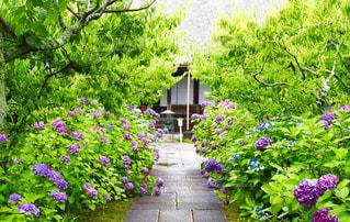 紫陽花と石畳のあるお寺の写真・画像素材[2909667]