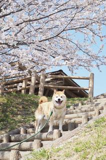 桜の木と柴犬の写真・画像素材[2909811]