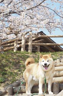 笑顔の柴犬と桜の木の写真・画像素材[2909812]