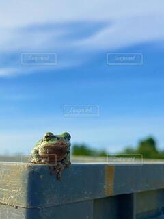 木製の表面に座っているカエルの写真・画像素材[4451919]