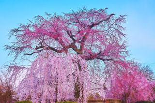 京都 円山公園の桜 - No.1119506