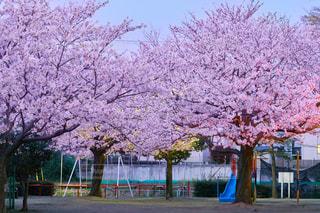 公園と桜の写真・画像素材[1120654]