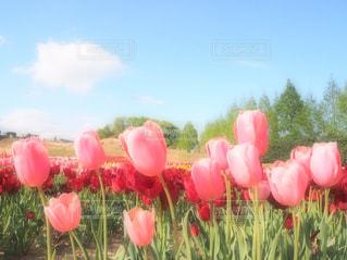 フィールドに赤い花の写真・画像素材[1124507]