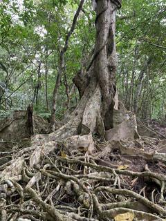 板根の木の写真・画像素材[1759252]