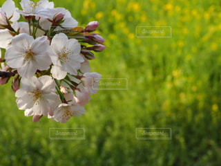 桜咲くの写真・画像素材[1119833]