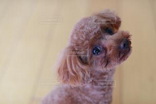 カメラを見て犬の写真・画像素材[1127147]