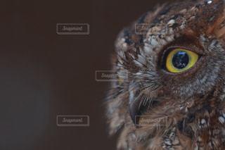 黄色の目で茶色と白フクロウの写真・画像素材[1127161]