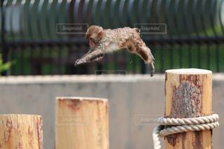子猿のジャンプの写真・画像素材[1127163]