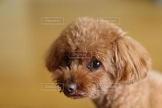カメラを見て犬の写真・画像素材[1127177]