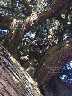 生命力溢れる大木の写真・画像素材[1121513]