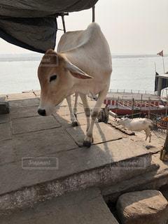 牛は神さまの乗り物!の写真・画像素材[1120613]